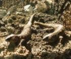 Duże jaszczurki na skałach