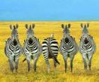 Pięciu zebry