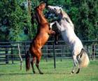 Dwa konie pyszałkowaty