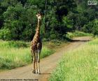 Żyrafa w środku ścieżki w Kruger National Park, Afryka Południowa