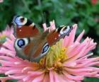Piękny motyl skrzydła szeroko otwarte