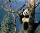 Panda na drzewie