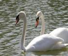 basen Swans spokojnie