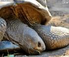 Głowę żółwia