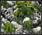 Kwiat kawy