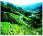 Ryż Tarasy filipińskie Cordilleras