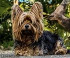 Pies terier z długimi włosami