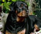 Rottweiler pies stróżujący