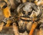 Tarantula, Ptasznikowate duży pająk z długimi nogami pełny włosów
