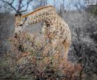 Żyrafa jedzenie krzewów