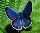 Błękitny motyl skrzydła szeroko otwarte