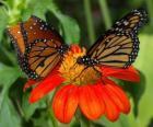 dwa piękne motyle twarzą w twarz