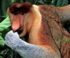 Nosacz, nosacz sundajski (Nasalis larvatus) – gatunek małpy z rodziny makakowatych wyróżniającej się charakterystycznym nosem, jedyny przedstawiciel rodzaju Nasalis