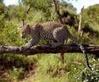 Jaguar na gałęzi drzewa
