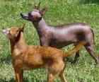 Nagi pies meksykański jedna z ras psów, które nie posiadają owłosienia.