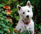 West Highland Terrier białe są rasy psów Szkocji znana osobowość i błyszczącej bieli