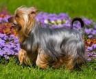Australian Silky Terrier Terier australijski lub terier pochodzi z Australii