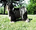 Terier tybetański nie jest członkiem grupy terrier jest