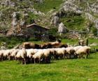 Pasterz tendencję jego stada