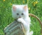 Cute białego kitten