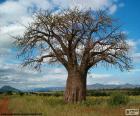 Baobab afrykański