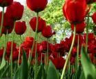Czerwony Tulipany