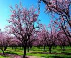 Kwitnienia migdałów drzew na wiosnę