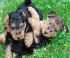 Terier walijski szczeniaka