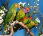 Cztery parakeets