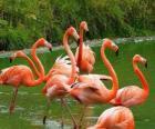 Flamingos w wodzie, duże ptaków wodnych w upierzeniu różowy