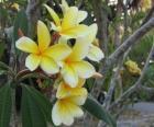 Plumeria żółty