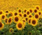 Słoneczniki w dziedzinie