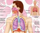 Układ oddechowy (angielski)