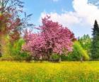 Wiśniowe drzewo na wiosnę