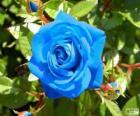Błękitna róża