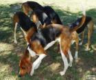 Foxhound amerykański