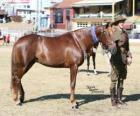 Waler koni pochodzenia z Australii