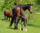 Koń badeńsko-wirtemberski, koń, pochodzące z Niemiec