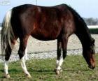 Koń Wielkopolski pochodzących z Polski