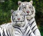 Biały Bengal Tigers