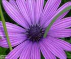 Fioletowa kwiat