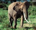 Słoń z kłów