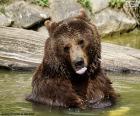 świetnie niedźwiedźw wodzie