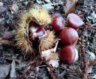 Kasztany, jeden z typowych owoców jesieni