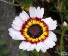 Chryzantema tricolor