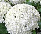 Kwiaty hortensji biały