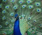 Wspaniały okaz niebieski Paw, pierwotnie z Azji