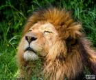 Lew pod słońcem