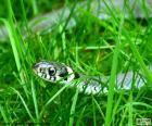"""Zaskroniec zwykły """"Natrix natrix"""" jest wężem, który można znaleźć w Europie i Afryce Północnej"""