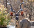 Mężczyzna Kudu
